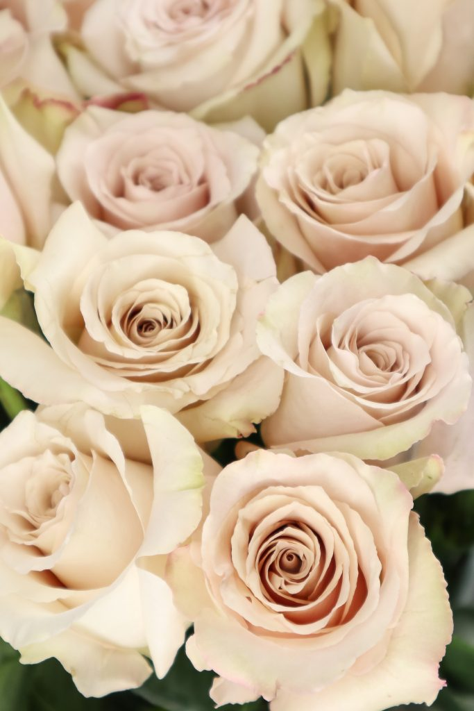 variedadesd de rosas