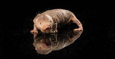 historia de la rata topo desnuda